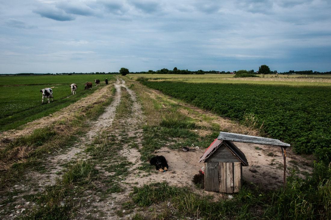 pies broniący ziemniaków, w tle krowy prowadzone z pastwiska
