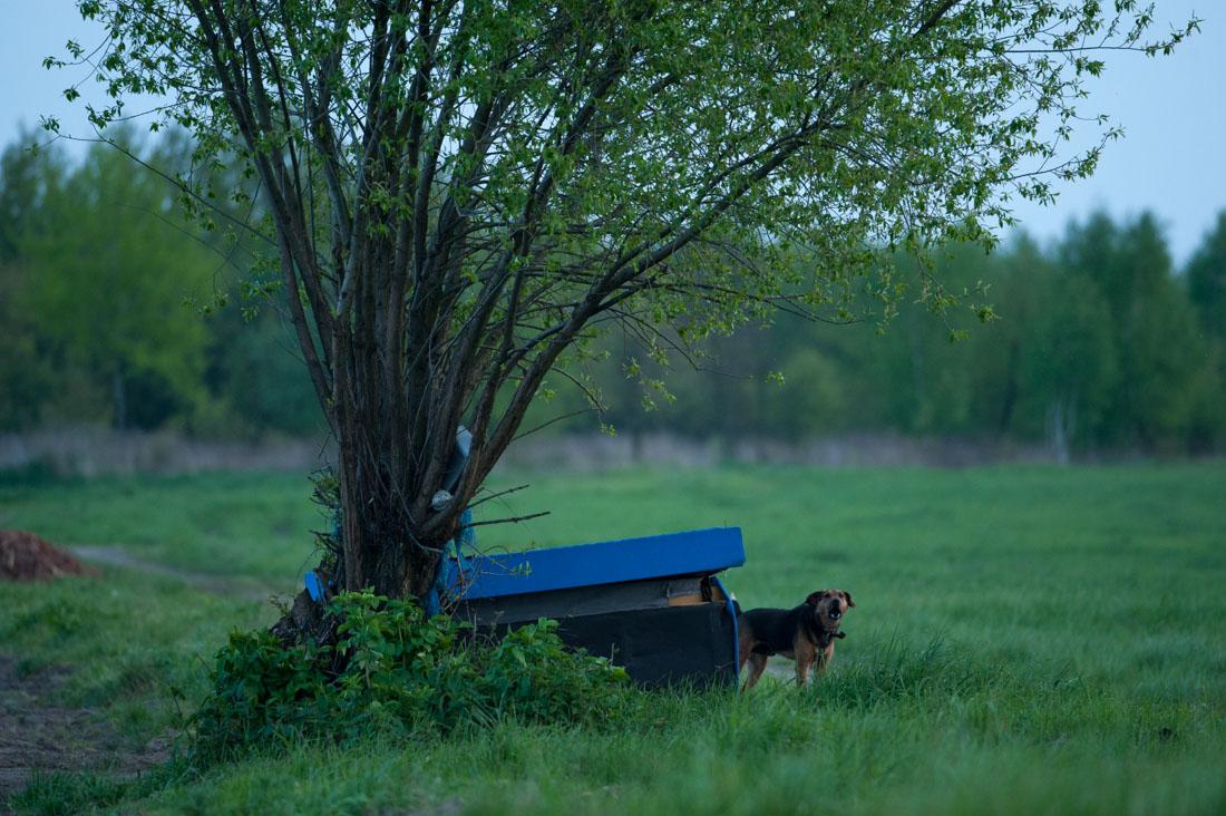 pies broniący ziemniaków