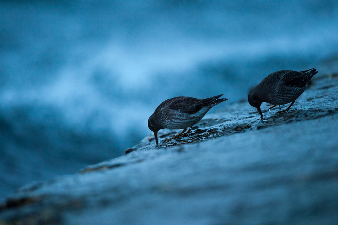 biegusy morskie w Helu